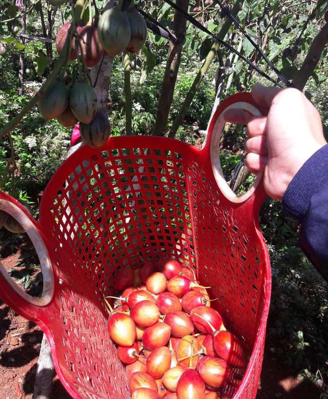 Theo anh Mạnh Khương, do sản lượng thu hoạch được của các nhà vườn chưa nhiều, trong khi nhu cầu khách mua về ăn lại cực cao. Do đó, các khách thường phải xếp hàng đặt mua trước vài ba ngày.