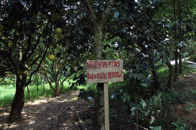 Mê hoặc vườn bưởi Phúc Trạch hàng ngàn quả phục vụ tết Trung thu