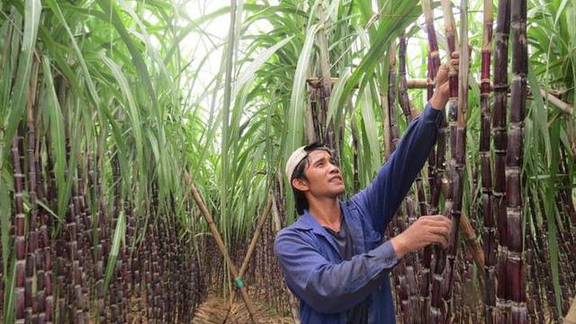 Đề nghị giảm thuế VAT để 'cứu nguy' cho cây mía